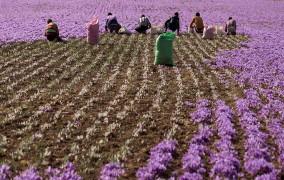 113 نفر متقاضی کشت گیاهان دارویی در اراضی شیبدار