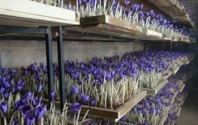 زعفران ایران باید صنعتی شود