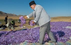 باقیمانده مطالبات زعفرانکاران تا پایان امسال تسویه میشود