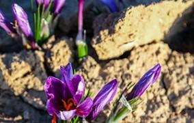افزایش کاشت زعفران در آزاد شهر گلستان