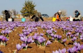 پیش بینی برداشت ۲۰ کیلوگرم زعفران از مزارع جوانرود