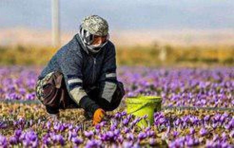 9 هکتار از مزارع میبد زیر کشت زعفران رفت