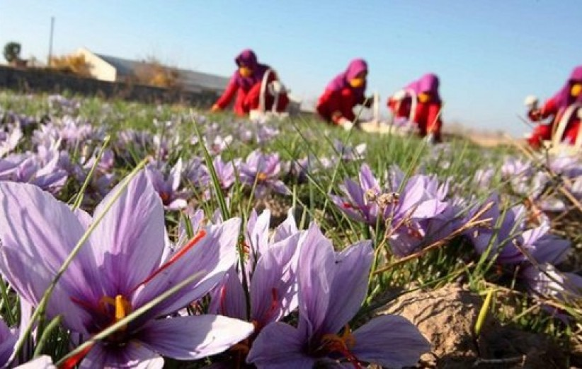 افزایش 17 درصدی برداشت زعفران