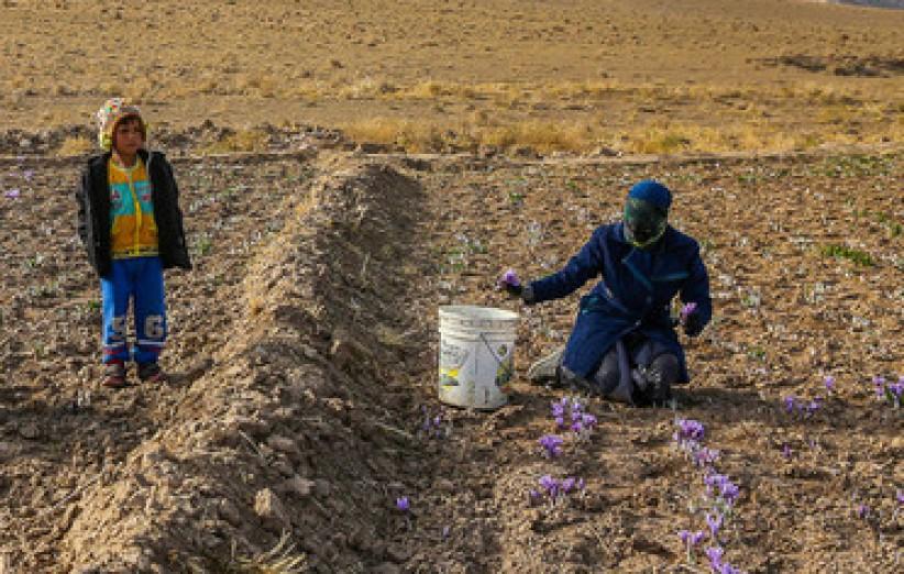 برخی مزارع استان مشکوک به عامل پوسیدگی پیاز زعفران هستند