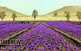 کشت زعفران برای نخستین بار در مهاباد