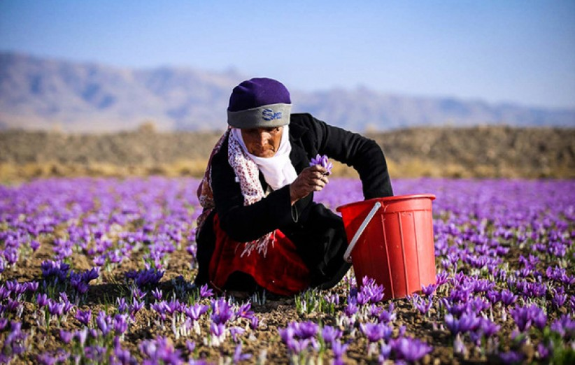 برگزاری جشنواره ملی عکس زعفران در تربت حیدریه و زاوه