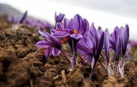 زعفران در گلستان به گل نشست