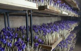 کشت گلخانه ای ایروپونیک زعفران در شیروان