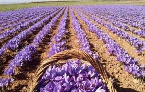 پیش بینی برداشت 290 کیلوگرم زعفران از مزارع ملایر