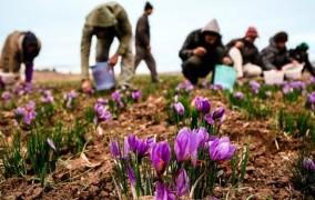 افزایش برداشت زعفران در خراسان شمالی تا سقف ۱۸ تُن