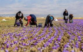 کاهش قیمت زعفران کشاورزان گنابادی را متضرر کرد