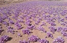 پیش بینی افزایش برداشت زعفران