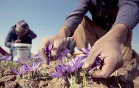 کشت زعفران در کرمانشاه به 1000 هکتار رسید