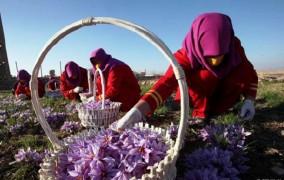 شرایط بازار دستمزد کارگران زعفران را تعیین می کند
