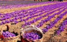 حمایت تعاون روستایی خراسان رضوی با پرداخت تسهیلات به زعفرانکاران