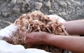 30 تن پیاز زعفران بین کشاورزان ایذهای توزیع شد