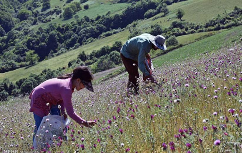 تولید 1500 تن گیاهان دارویی در چهارمحال و بختیاری