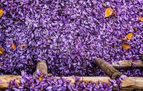 امسال ۴۳۰ تن زعفران تولید میشود