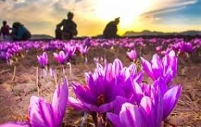 برداشت گل زعفران از سطح ۳۲۱ هکتار باغ باور گلستان آغاز شد