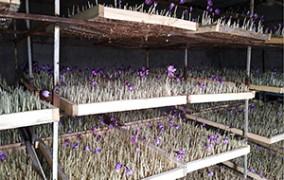 کاشت زعفران به روش ایروپونیک در خرامه