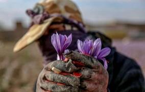 تعاون روستایی در بازار زعفران هدفمند حضور دارد