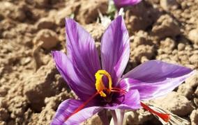 پش بینی برداشت بیش از ۳هزار تن گل از مزارع زعفران زاوه