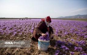 آغاز خرید حمایتی زعفران از هفته آینده