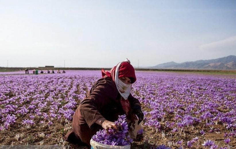 یزد رتبۀ ششم کشور در تولید طلای سرخ