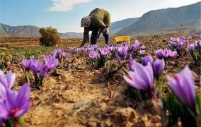 بهاباد قطب تولید زعفران استان یزد میزبان جشنواره زعفران است